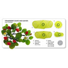 Комплект щампи - листа и чашелистчета от ягода